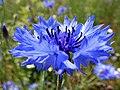 Cornflower (Centaurea cyanus) (36723430981).jpg