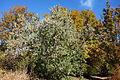 Cornus capitata - Quarryhill Botanical Garden - DSC03262.JPG