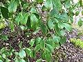 Cornus hongkongensis 05.jpg