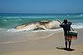 Corpo de baleia encalhada na Praia do Arpoador, no Rio (26663171599).jpg