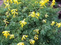 Corydalis lutea a1