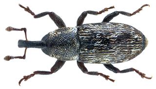 Baridini Tribe of beetles