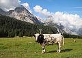 Cow on Ehrwalder Alm 2.jpg