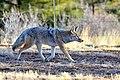 Coyote (24424927023).jpg