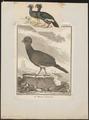 Crax alector - 1820-1860 - Print - Iconographia Zoologica - Special Collections University of Amsterdam - UBA01 IZ16900071.tif