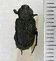 Cremastocheilus Knochii Leconte,1853 - 5416522748.jpg