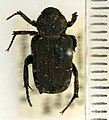 Cremastocheilus angularis Leconte, 1857 - 5475611343.jpg