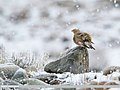 Crimson-winged Finch (Rhodopechys sanguineus) (48617964151).jpg