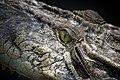 Crocodile, Sarawak. Borneo, Malaysia (14878888375).jpg