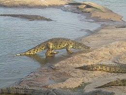 Ah Les Crocodiles Wikipedia