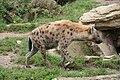 Crocuta crocuta (6384141969).jpg