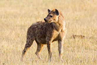 Spotted hyena - Adult in the Ngorongoro Conservation Area, Tanzania