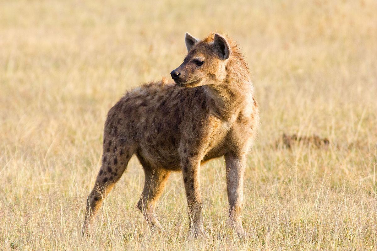 1200px-Crocuta_crocuta_Ngorongoro_Crater
