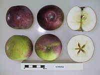 Cross section of Dunning, National Fruit Collection (acc. 1954-088).jpg