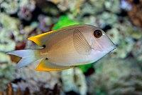 Ctenochaetus tominiensis.jpg