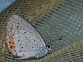 Cupido argiades - Short-tailed blue - Голубянка короткохвостая (26144131257).jpg