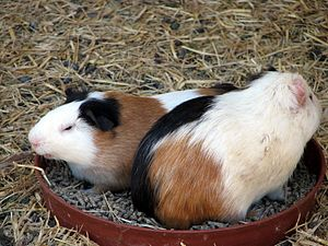 image of Cute Guinea Pigs in a dish - Lagos Zoo - The Algarve, Portugal (1735545543)