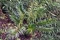 Cycas circinalis 35zz.jpg