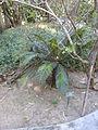 Cycas revoluta - Jardin d'Éden.JPG