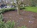 Cyclamen, Kew Gardens, Kew, Surrey - geograph.org.uk - 1172805.jpg