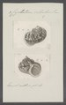 Cyclostoma volvulus - - Print - Iconographia Zoologica - Special Collections University of Amsterdam - UBAINV0274 082 28 0003.tif