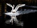 Cygnus olor -Grand Canal, Dublin, Ireland -landing-8 (1).jpg