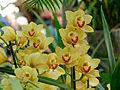 Cymbidium Gwynne 1001 Orchids n01.jpg
