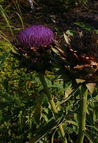 Cynareae - Artichoke flower head