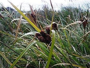 Cyperus ustulatus - Image: Cyperus ustulatus 11