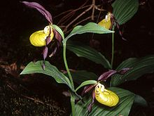 Cypripedium calceolus Bayern 01.jpg