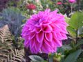 Dahlia Lavender perfection 2.jpg