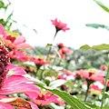Dahlia pinnata from Village.jpg