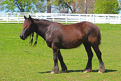 Dales Pony Mare - Gulliver's Mistral owned by Baroque Farm.jpg