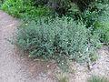 Dasiphora fruticosa (15034412179).jpg
