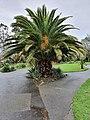 Date palm in Morrab Gardens, Penzance.jpg