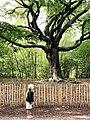 De Heksenboom in Bladel Brabant.jpg