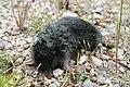 Dead Mole. - geograph.org.uk - 476039.jpg