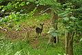 Deer at Mount Edgcumbe (0797).jpg