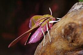 Deilephila elpenor 05.jpg