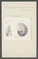 Dendritina arbuscula - - Print - Iconographia Zoologica - Special Collections University of Amsterdam - UBAINV0274 113 02 0008.tif