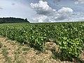 Des vignes - Irancy, Yonne, juin 2020.jpg