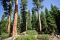 Deschutes National Forest, mature ponderosa pine and fir understory (37092575525).jpg