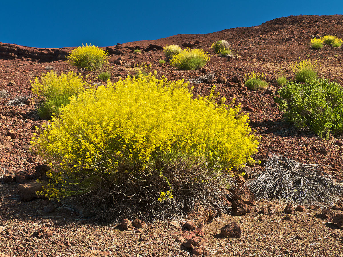 Flora Of The Canary Islands Bramwell