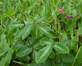 Desmodium incanum closeup.jpg