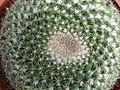 Detail of Cactus at Cactus Valley - Near Brinchang - Cameron Highlands - Malaysia - 01 (35527487526).jpg