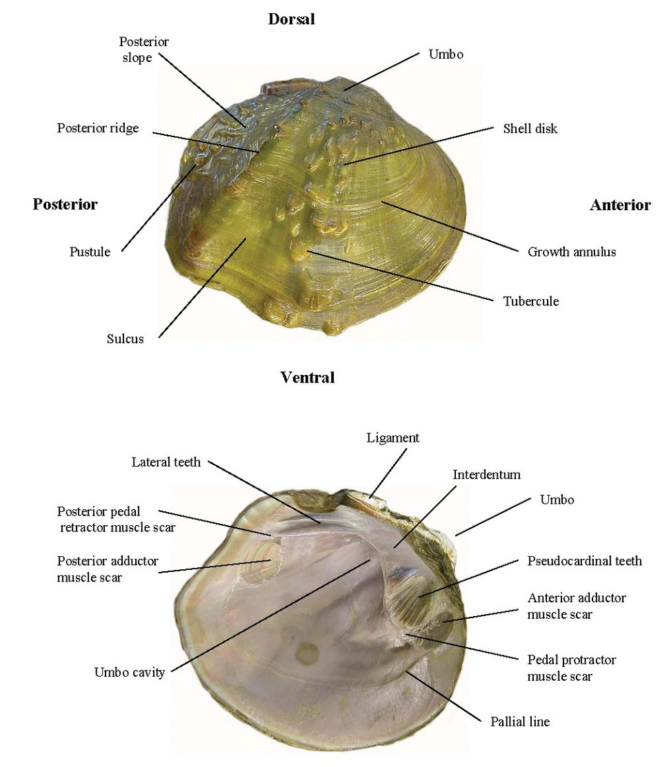 Diagram freshwater mussels