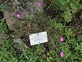 Dianthus graniticus - Botanischer Garten, Frankfurt am Main - DSC02660.JPG