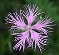Dianthus superbus var. longicalycinus in Mount Ibuki 2011-08-28.JPG