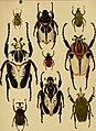 Die exotischen Käfer in Wort und Bild (1908) (20292482763).jpg
