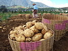 Dieng Potatoes.jpg